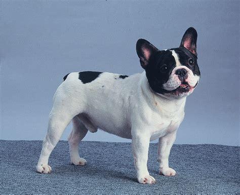 bull frances tudo sobre a ra 231 a bulldog franc 234 s tudo sobre cachorros