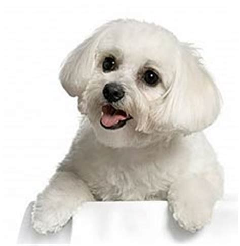 havanese weight range havanese breed information