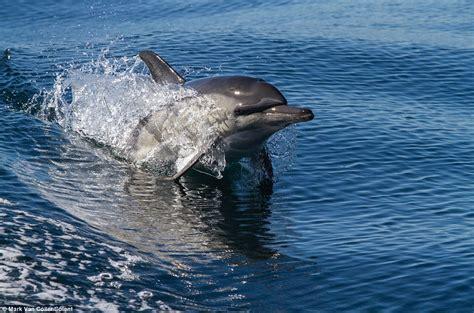 boat riding wave surf s up pod of 40 bottlenose dolphins ride 8ft high