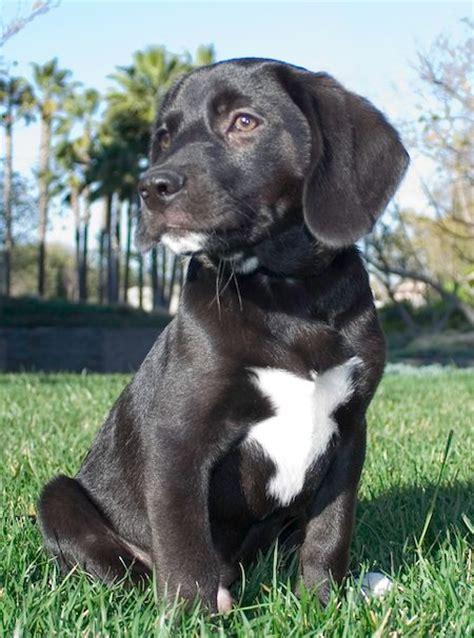 do rottweilers white on their chest labrador retriever beagle mix allmutt