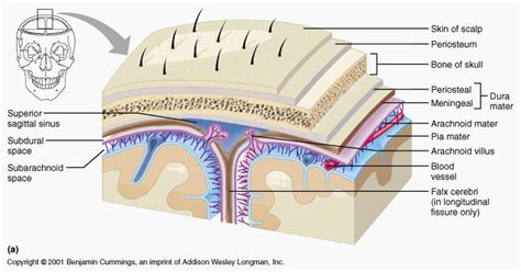 vasi cerebrali meningi