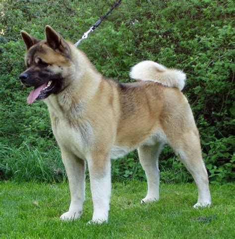 american dogs fawn american akita photo and wallpaper beautiful fawn american akita pictures