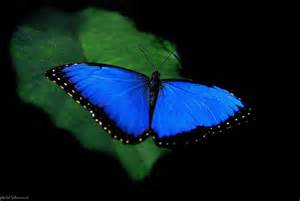 5 facts about the incredible blue morpho butterfly mnn mother nature network