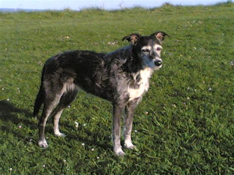 lurcher dogs 11 more breeds you ve probably never heard of the barkpost