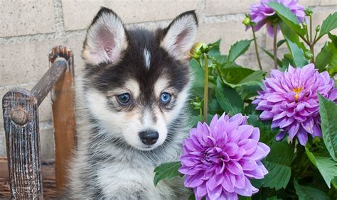 pomeranian and husky mix price pomeranian husky pomsky price pictures breeders information