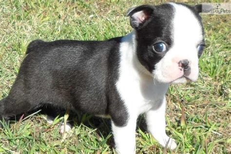 boston terrier puppies for sale excellent boston terrier puppies for sale