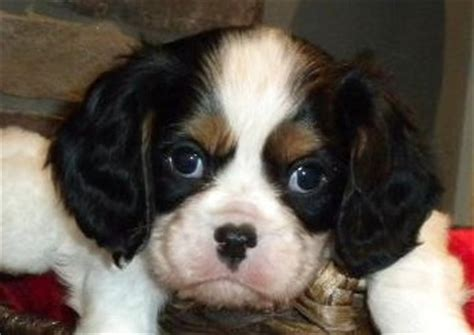 mmm in dogs masticatory myositis in the cavalier king charles spaniel