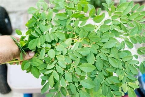 manfaat daun kelor  kesehatan tubuh manusia muda