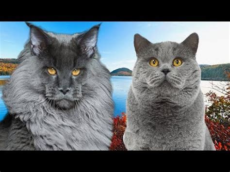 ragdoll vs maine coon maine coon vs shorthair cat
