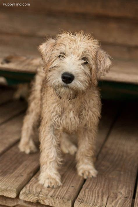 wheaten puppies best 25 wheaten terrier ideas on golden doodles doodle breeds and