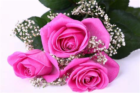 Pupuk Yang Bagus Untuk Bunga Mawar cara menanam merawat bunga mawar teknik stek di pot
