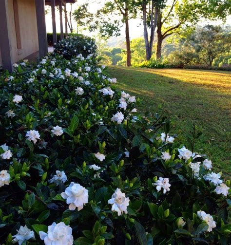Gardenia Hedge 1000 Ideas About Gardenia Bush On Gardenias