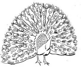 peacock coloring pages for adults free printable peacock coloring pages for