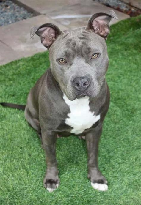 gray pitbull puppies pet adoption page 8 7 14 german shepherd lab mix collie mix cats chickens more