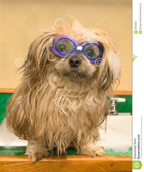 shih tzu swimming shih tzu goggles bath swimming kitchen sink royalty free stock photos image