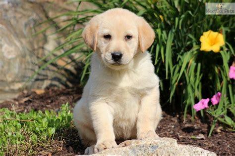 lab puppies dallas labrador retriever puppy for sale near lancaster pennsylvania 5d6646e5 1081