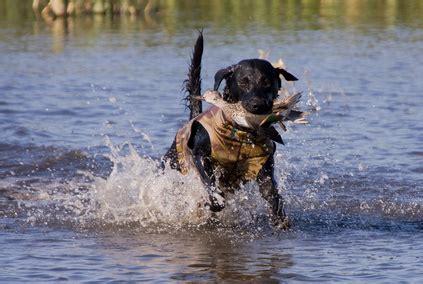 lab puppies for sale in richmond va labrador retriever puppies for sale in richmond va woodythurman comwoodythurman