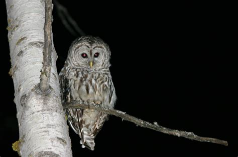 night owls file owl at night jpg wikipedia