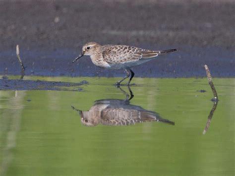 shorebirds san diego birding