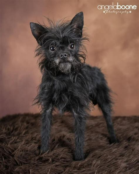 Do Yorkie Chihuahua Mix Shed by Affenhuahua Dogs Puppies And All There Is To