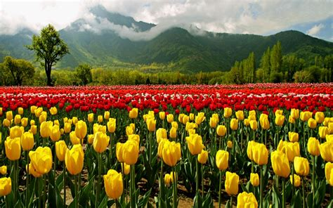 Tulip Flower Garden In India Asia S Largest Tulip Garden In Kashmir Paradise Kashmir