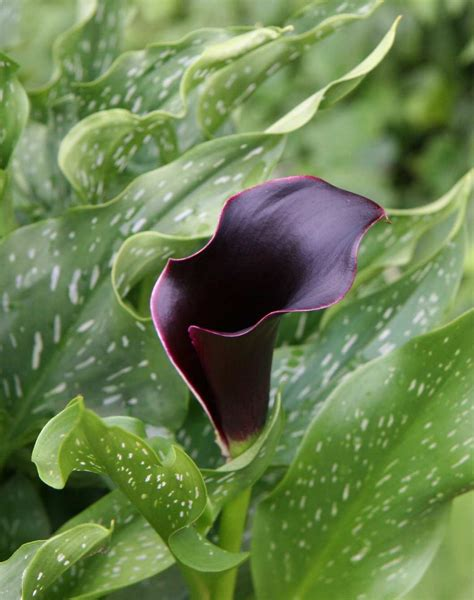 gallery of callas lilies by color black calla lilies