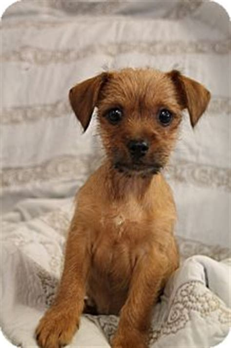 yorkie rescue nashville tn buster adopted puppy 1226 nashville tn yorkie terrier chihuahua mix