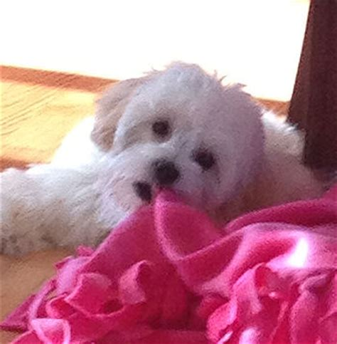 maltipoo puppies for sale mn are maltipoos yappy image search results