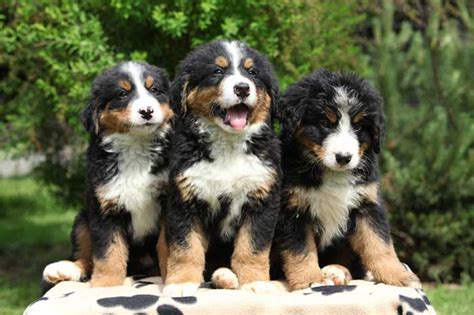 bernese mountain mix puppies bernese mountain info temperament puppies pictures