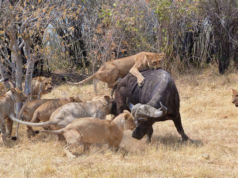imagenes de leones cazando image gallery leones cazando