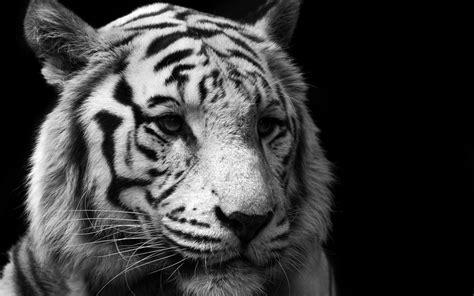 monochrome animals tiger monochrome animals wallpapers hd desktop and