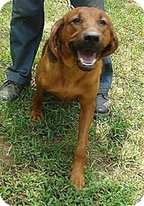 bloodhound golden retriever mix patty 100 gpr adopted gpr beacon ny bloodhound labrador retriever mix
