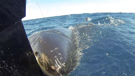 fishing boat attacked by shark megalodon video great white attacks boat sharknewz
