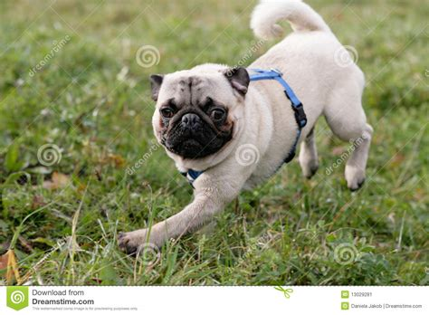running pug running pug stock image image 13029281