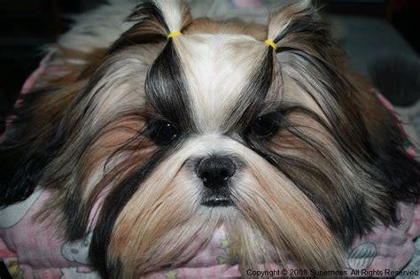 shihpoo puppy cut pinterest the world s catalog of ideas