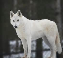 Shower Curtain Cream White Wolf Photograph By Elaine Mikkelstrup