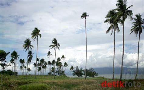 Bibit Cengkeh Manado halmahera pulau penghasil kopra budi utomo peternak