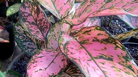 tanaman aglaonema budidaya tanaman hias pesona