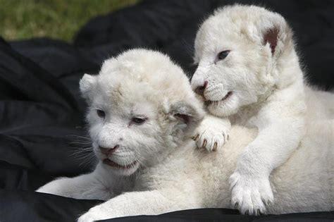 imagenes de leones albinos wallpaper de tigres y leones blancos y mas taringa