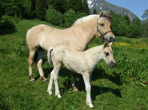 fjord paard file fjording mother and daughter jpg wikimedia commons