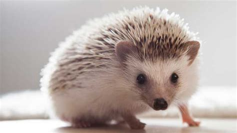 hedgehogs are a prickly issue in some states mnn mother nature network