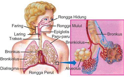 Fungsi Propolis Bagi Tubuh Manusia Adalah 1 Sebagai Suplementasi K sistem pernapasan biologi buanget