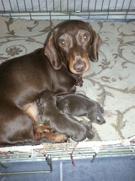 mini doxie puppies for sale dachshund puppies for sale