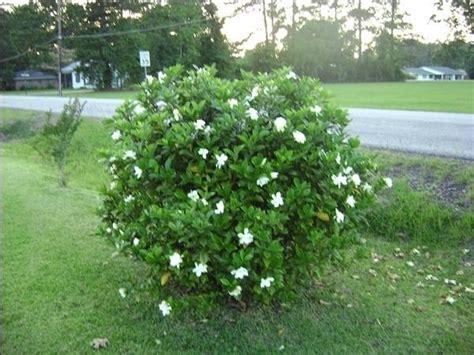 gardenia giardino gardenia giardinaggio piante appartamento curare la