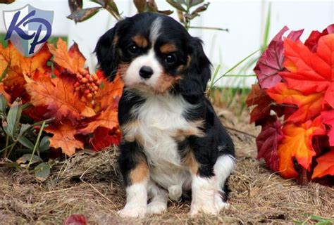 king charles cavalier puppies for sale in pa 46 best images about cavalier king charles spaniels on