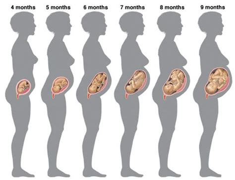 gestation of a stages of pregnancy causes symptoms treatment stages of pregnancy