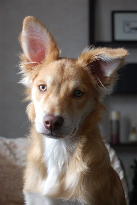 border collie and golden retriever golden retriever border collie mix