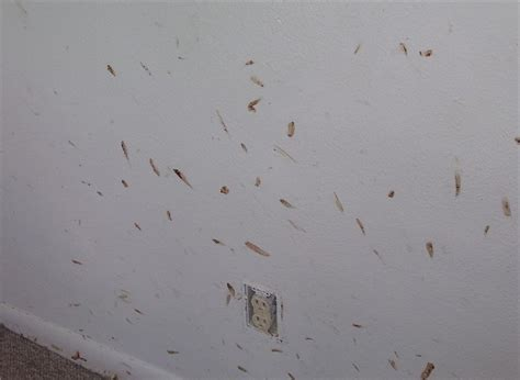 bed bugs in walls bed bug infestation pictures bed bugs com