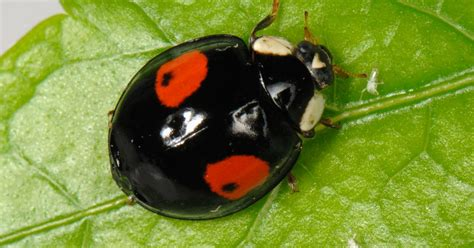 how to get rid of ladybugs inside my house how to get rid of ladybugs inside my house 28 images how to get rid of ladybugs in