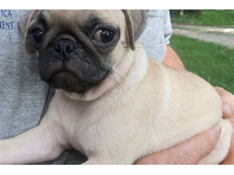 pug breeders arizona pug puppies for adoption animals gilbert arizona announcement 27798